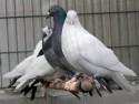 Tauben in unserer Voliere
