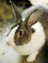Kaninchen Mary