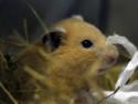 Hamster Lenchen