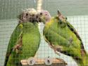 Papageienpaar_MG_4535