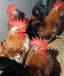 Hühner Notfall im Tierheim Bonn