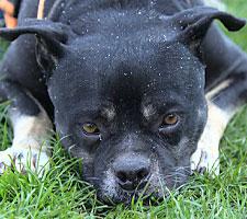 Bulldogge Notfall im Tierheim Bonn