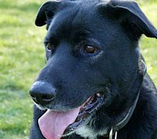 Labrador Notfall im Tierheim Bonn